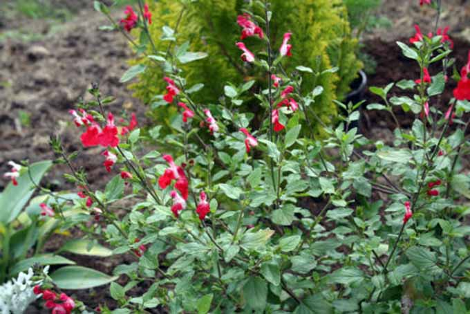 Salvia 'Hot Lips' | GardenersPath.com