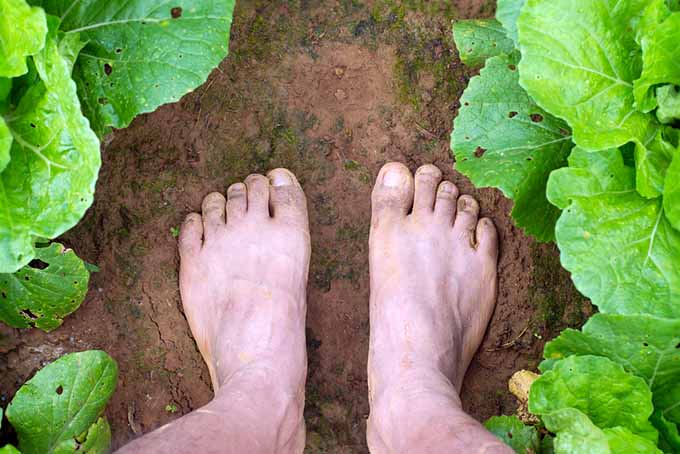A top down picture of two bare feet standing on soil in the garden between two rows of vegetables.
