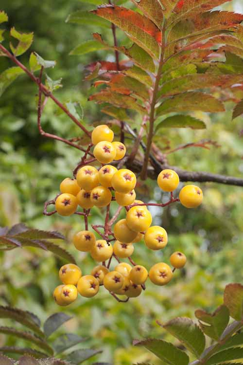 A close up of bright yellow berries of the Sorbus 'St. Joseph' tree with foliage in soft focus in the background.