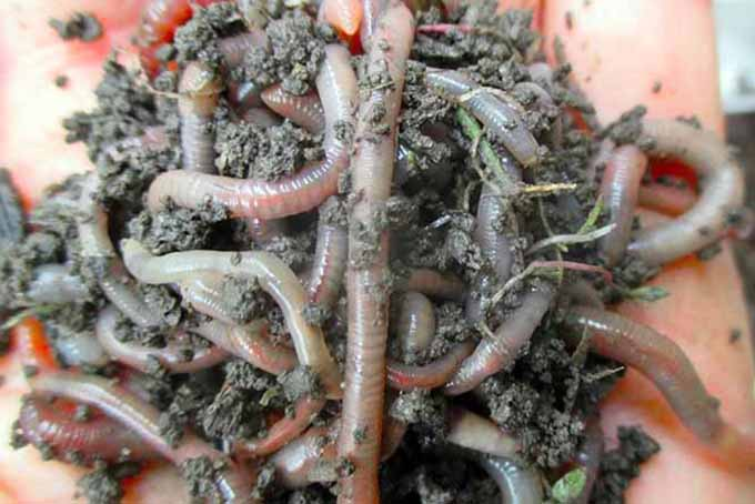 Handful of Worms in Soil | GardenersPath.com