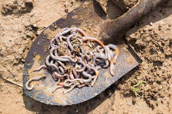 A garden shovel with a large pile of earthworms set on a soil background.