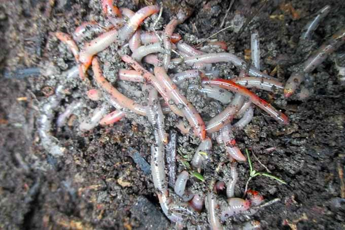 A close up of a cluster of worms in a compost pile.