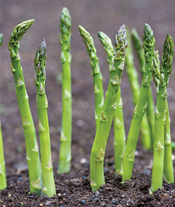 Jersey Supreme Asparagus Spears in garden soil.