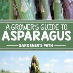 Tired of seeing annual vegetables come and go? Then it's time to plant asparagus in your gardening corner of the world! With the right care and less maintenance than most other crops, a couple years of patience will bring up asparagus spears each spring for years and years. Find your complete guide to growing the perennial now! Get the scoop: https://gardenerspath.com/plants/vegetables/asparagus/