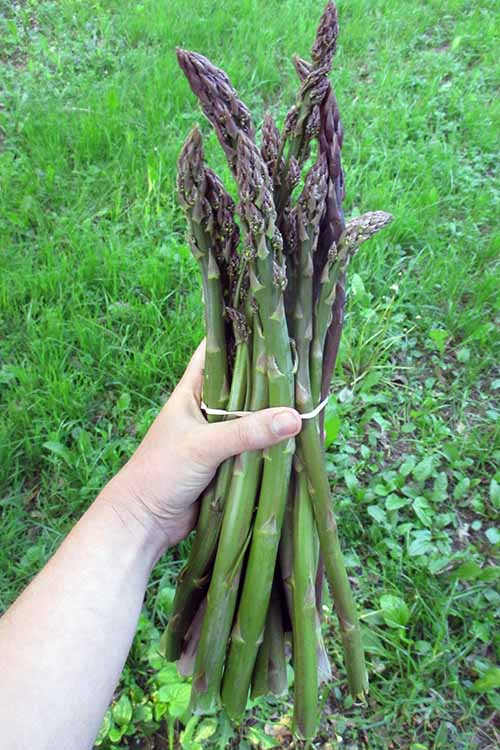 You say goodbye to annual frost-tender veggies each winter - but not to the mighty asparagus! Find your complete guide to get this delicious perennial in your garden right here, at Gardener's Path: https://gardenerspath.com/plants/vegetables/asparagus/