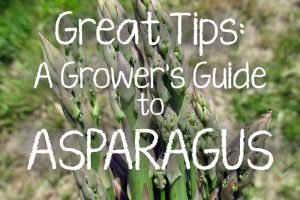Great Tips: A Grower's Guide to Asparagus