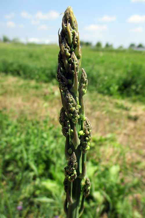 Want a veggie that sticks around long after winter, and returns in spring with little effort? Try growing asparagus! Find your complete guide to get this delicious perennial in your garden right here, at Gardener's Path: https://gardenerspath.com/plants/vegetables/asparagus/