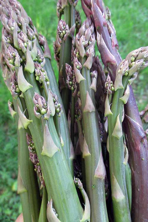 Growing asparagus can be one of the most rewarding perennials you ever introduce to your garden! Find your complete guide to get this delicious perennial in your garden right here, at Gardener's Path: http://gardenerspath.com/plants/vegetables/asparagus/