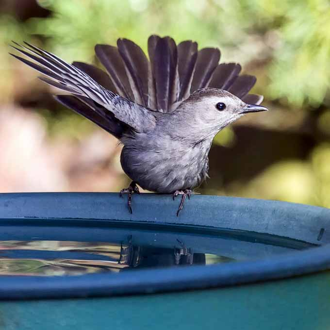 A close up of a catbird on the edge of a blue blue bowl pictured on a soft focus background.