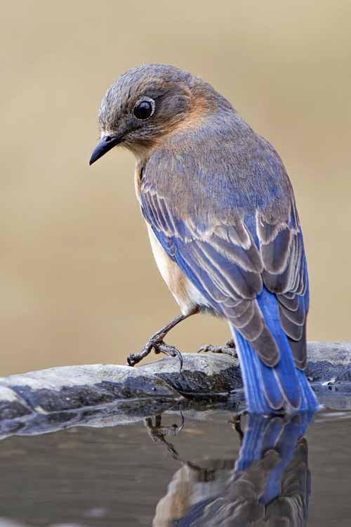 A close up vertical picture of a blue bird perched on the edge of a bowl filled with water, on a soft focus background.