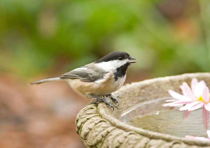 A close up of a black-capped Chickadee perched on the edge of a bowl on a soft focus background.
