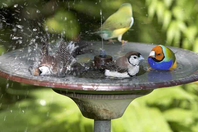 Colored finches playing in a bird bath | Gardenerspath.com