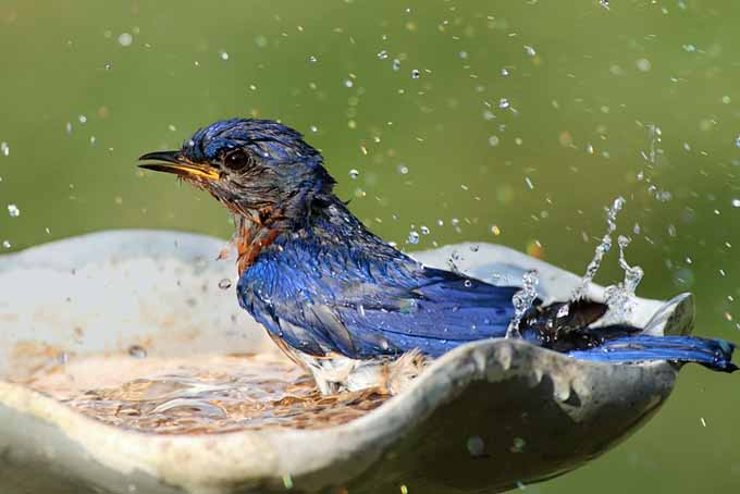 A close up of an eastern bluebird in a ceramic bowl splashing water around, pictured on a soft focus green background.