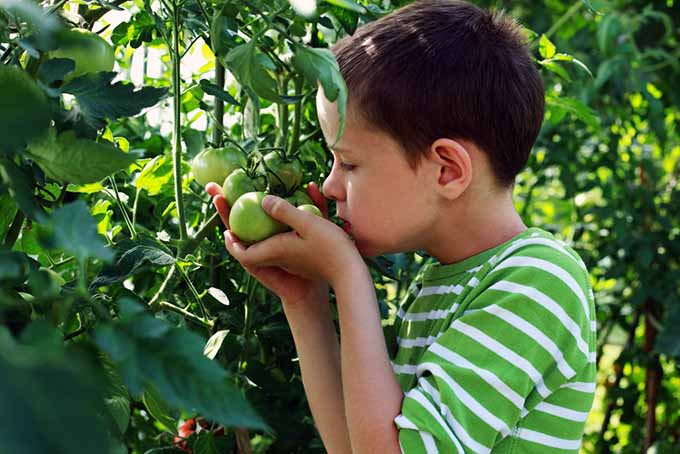 Boy with Green Tomatoes | GardenersPath.com