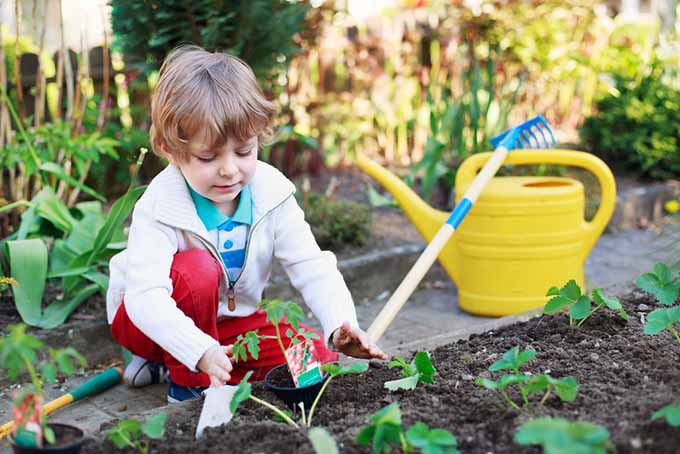 A close up of a child planting tomatoes in a raised bed in the garden, with a bright yellow watering can and garden rake in the background.