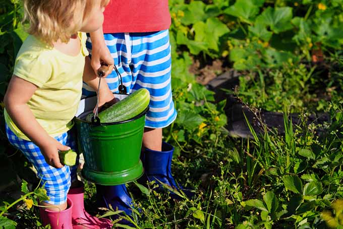Children with Bucket of Cucumbers | GardenersPath.com