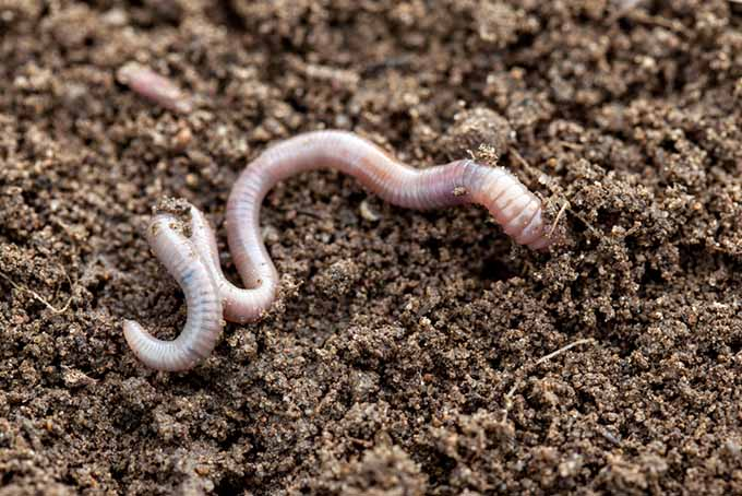 A close up of an earthworm in rich soil.