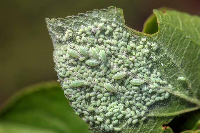 A close up of the underside of a leaf infested with aphids on a soft focus background.
