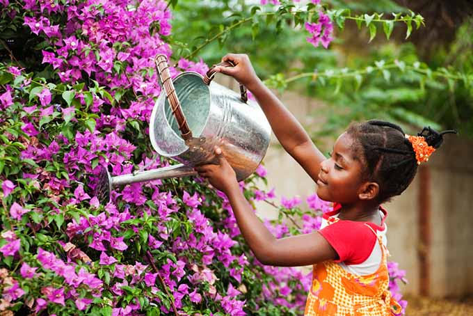 A close up of a child with a metal watering can watering bright pink bougainvillea flowers.