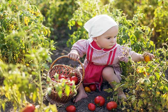 Toddler Picking Tomatoes | GardenersPath.com