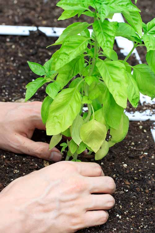 A pari of male hands are being used to plant a pepper seedling in a square foot garden.