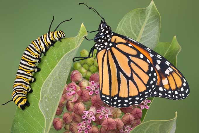 Beneficial Butterfly with Caterpillar | GardenersPath.com