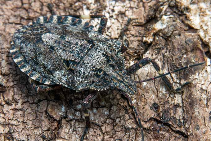 Beneficial Rough Stink Bug (Brochymena quadripustula) camouflaged against tree bark | GardenersPath.com