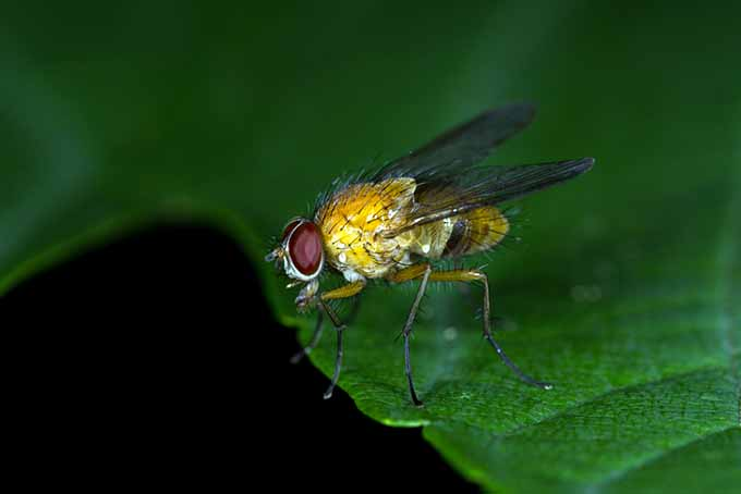 Beneficial Tachinid Fly | GardenersPath.com
