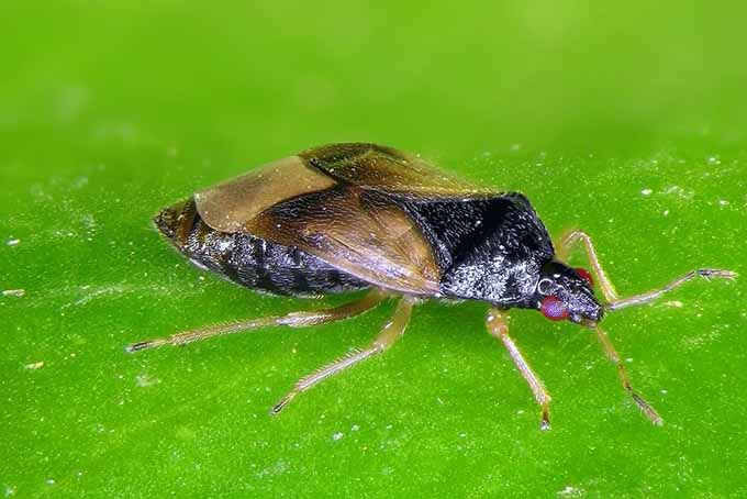 Beneficial Insects - Pirate Bug | GardenersPath.com