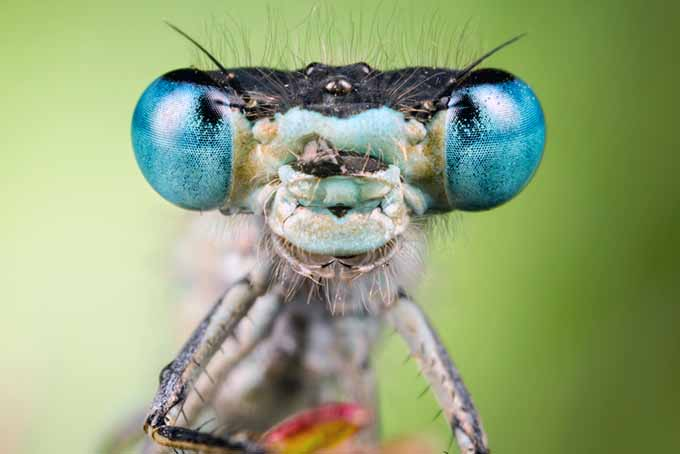 Beneficial Insect Face Closeup | GardenersPath.com