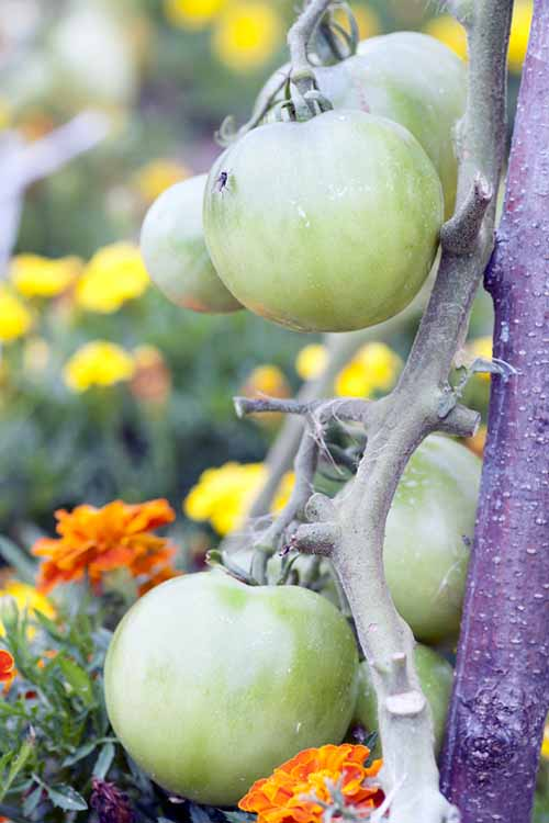 Close up of green tomatoes growing on the vine.