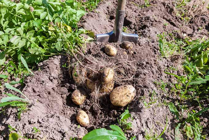 Digging Up Potatoes | GardenersPath.com