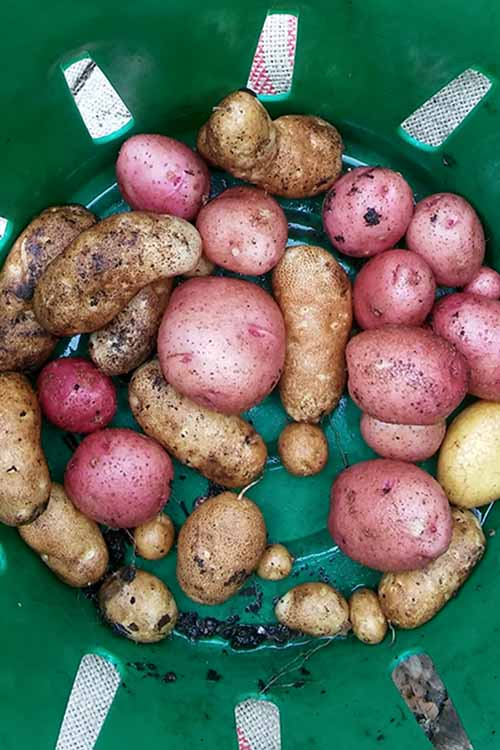 Potatoes from the garden are delicious, and easy to grow and store. Gardener's Path shows you how to harvest your spuds the very best way with this simple guide: http://gardenerspath.com/plants/vegetables/harvest-homegrown-potatoes/