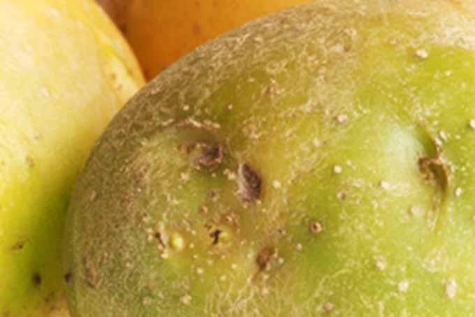 Green Potatoes | GardenersPath.com