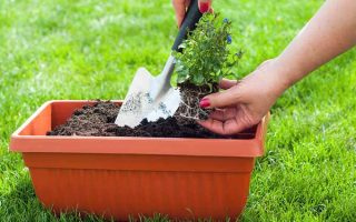 Hand Transplanting Flowers into Container | GardenersPath.com