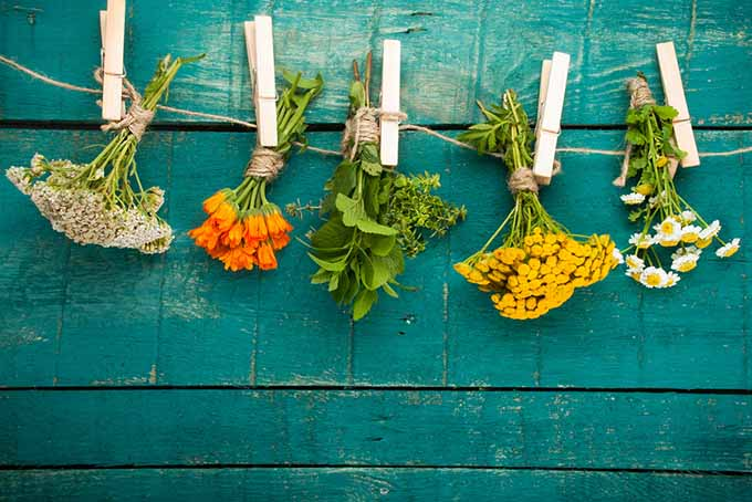 A close up of bunches of various medicinal herbs hanging upside down to dry, with a green fence in the background.