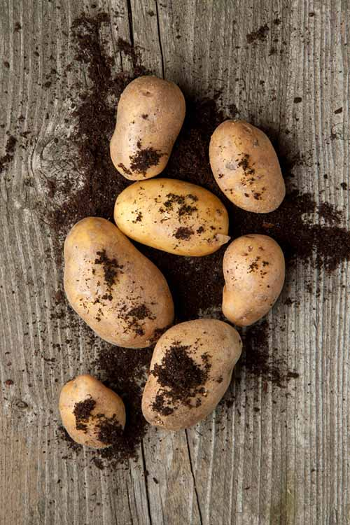 Garden potatoes grown yourself are delicious, as well as easy to grow and store. Gardener's Path shows you the best way to harvest your spuds with this simple guide: http://gardenerspath.com/plants/vegetables/harvest-homegrown-potatoes/