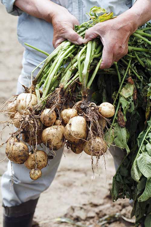Potatoes from your garden are delicious - plus they're easy to grow and store. Gardener's Path shows you how to harvest the very best spuds with this simple guide: https://gardenerspath.com/plants/vegetables/harvest-homegrown-potatoes/