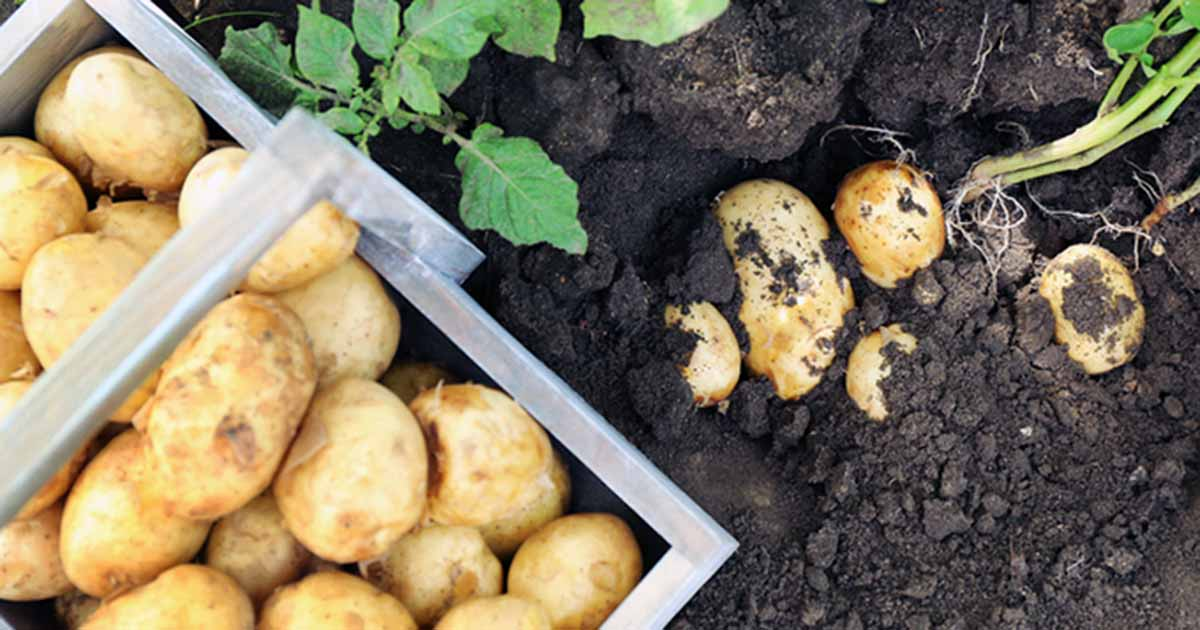 When And How To Harvest Homegrown Potatoes Gardener S Path