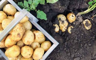 Harvesting Potatoes Cover | GardenersPath.com