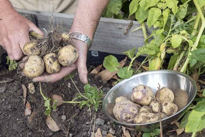 Harvesting Potatoes from Raised Bed | GardenersPath.com