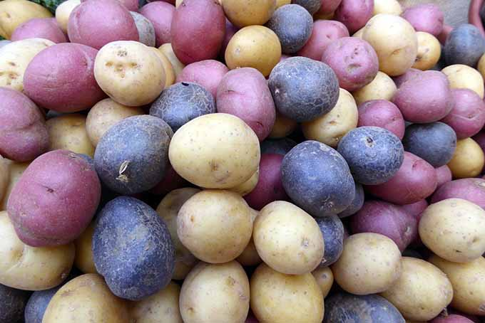 Heirloom Potatoes | GardenersPath.com