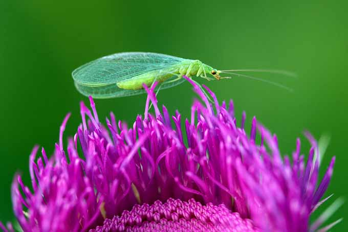 Beneficial Lacewing on Purple Flower | GardenersPath.com