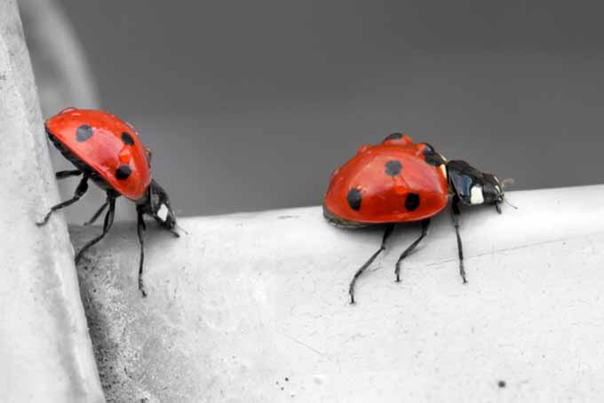 Beneficial Insects Two Ladybugs | GardenersPath.com