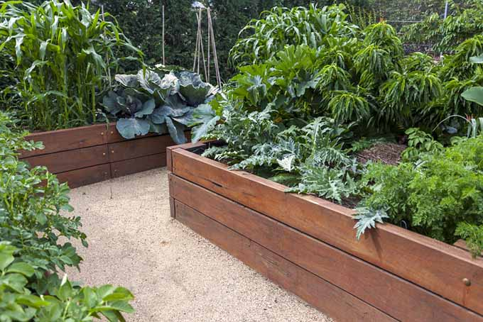 A square foot garden set in among tall, cedar raised beds with lush foliage and pea gravel walkway.