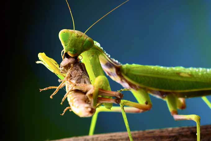 Beneficial Mantis Eating an Insect | GardenersPath.com
