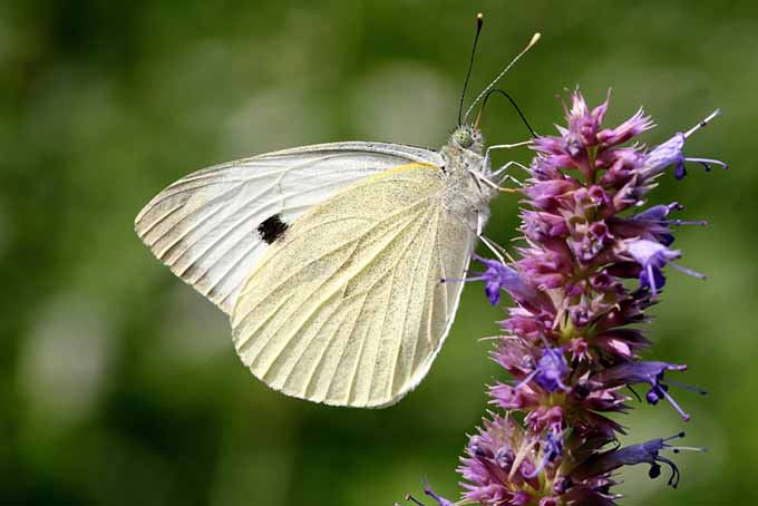 Beneficial Insects Cabbage Butterfly on Purple Flowers | GardenersPath.com