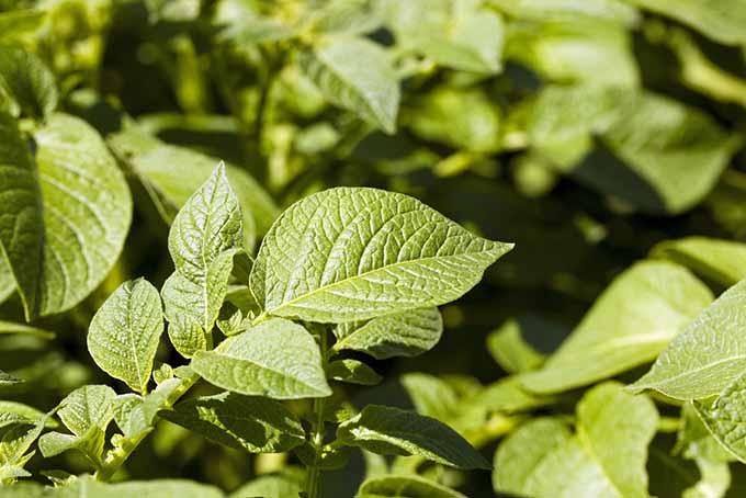 Potato Plant Leaves | GardenersPath.com