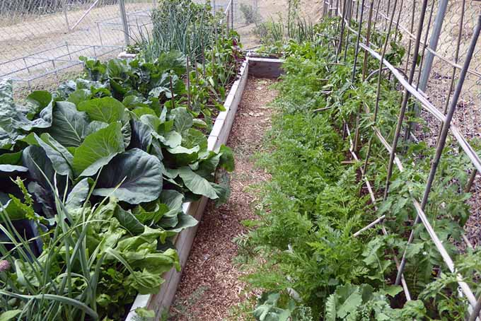 Fenced in raised bed with horizontal and vertical square foot growing areas with various veggies at the height of their growth.