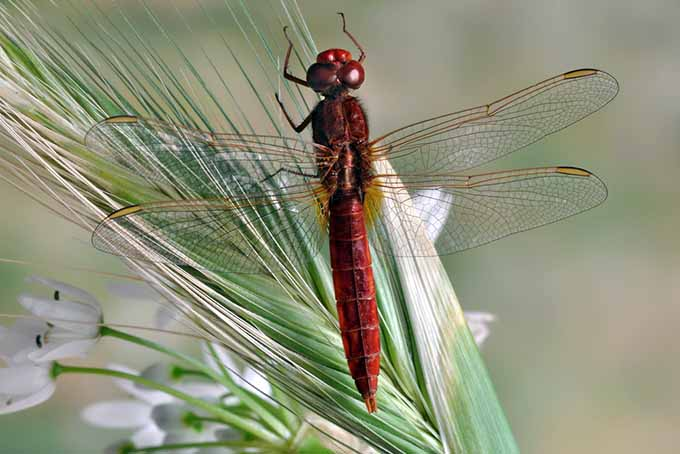Beneficial Red (Male) Dragonfly on a Shaft of Rye | GardenersPath.com